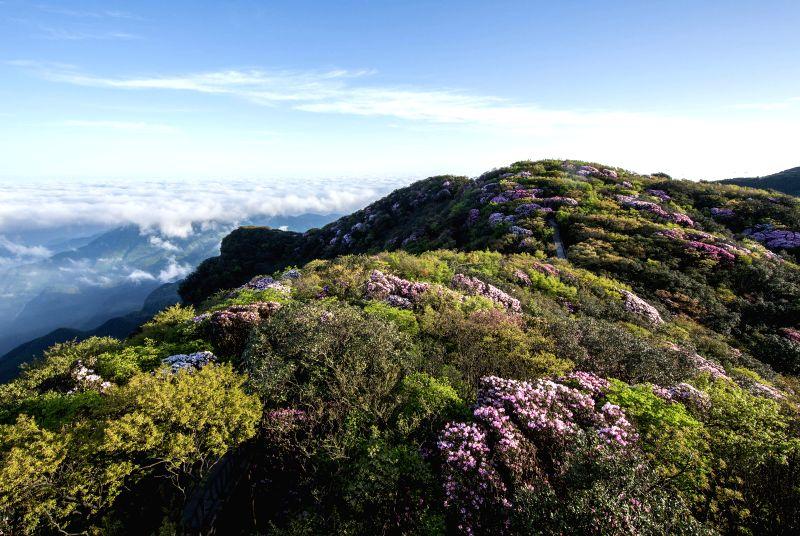 CHINA-CHONGQING-AZALEA FLOWERS