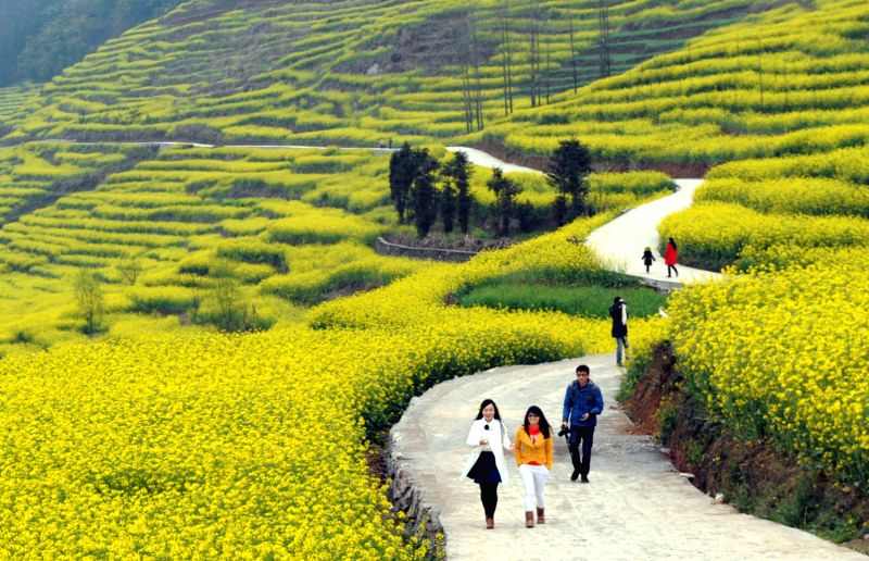Tourists enjoy the scenery of rape flowers in Luoping County of southwest China's Yunnan Province(Image Source: IANS)