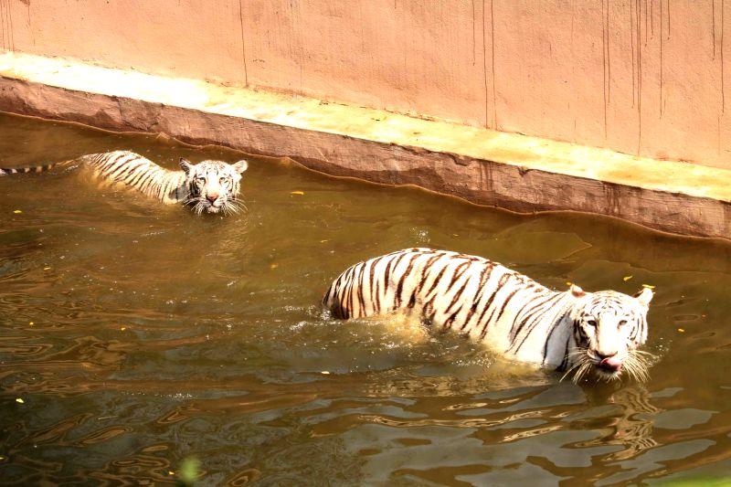 Nehru Zoological Park - Tigers
