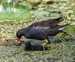 Mother's Day  - Moorhen