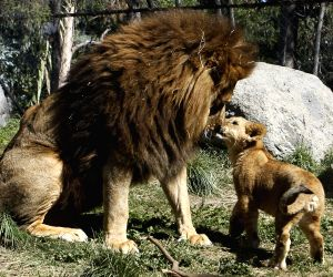 CHILE-BUIN-LION-CUBS