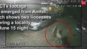 On cam: Lionesses roam around streets in Gujarat's Amreli